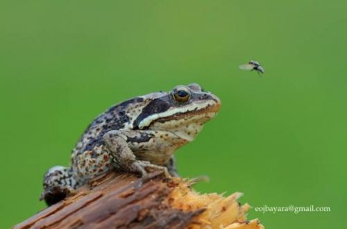 лягушка которая ловит комаров